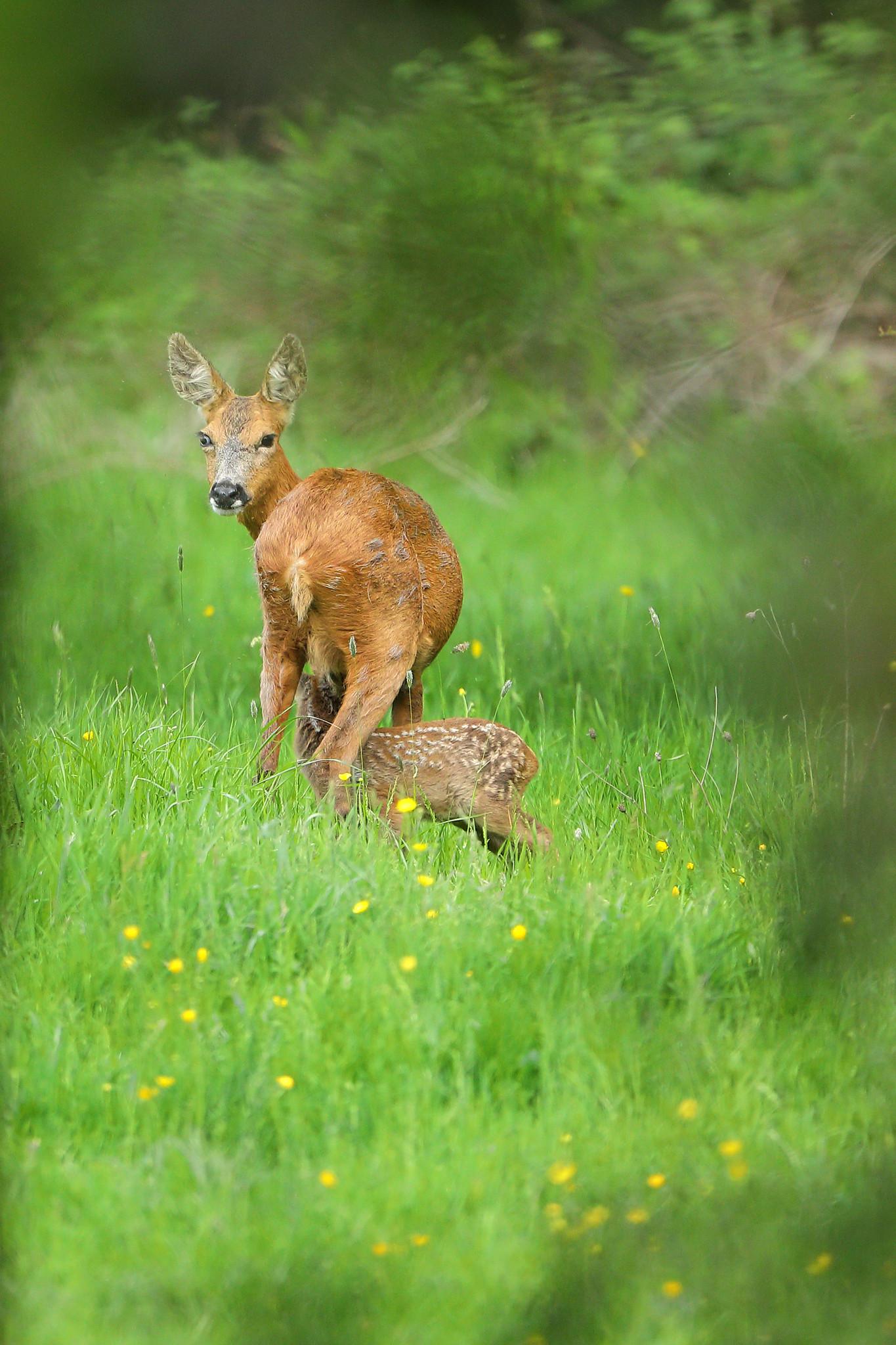 Roe deer mother and kid suckling