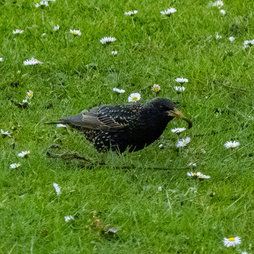 Dining with daisies: starling