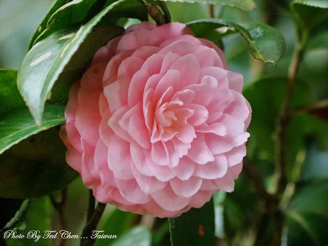Camellia japonica 山茶花