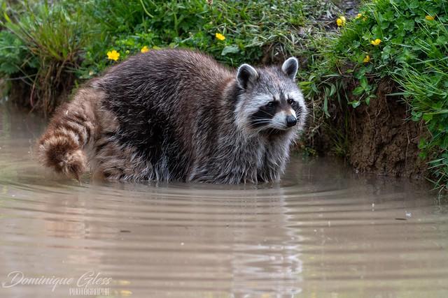 Raton laveur - Raccoon