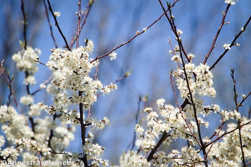 Blackthorn blossoms, Clarence Pathways, New York