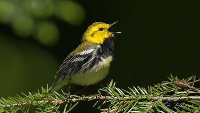 Black-Throated Green Warbler / Paruline à gorge noire