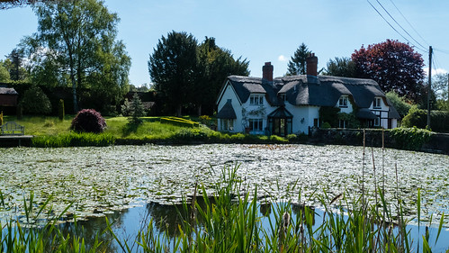 Covered in waterlilies: pool, Badger