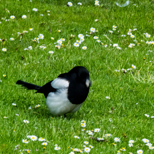 Dining with daisies: magpie