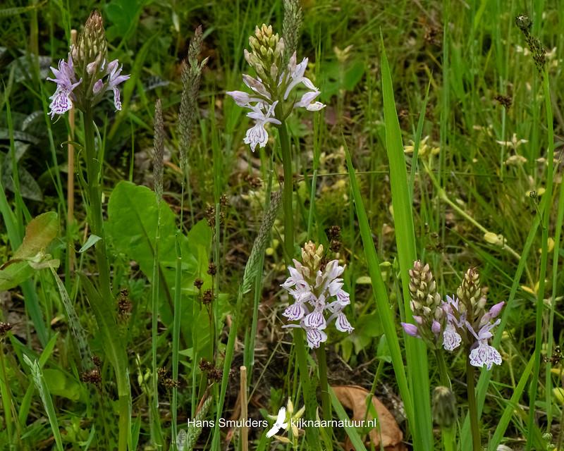 Gevlekte orchis (Dactylorhiza maculata)-850_3418-bewerkt
