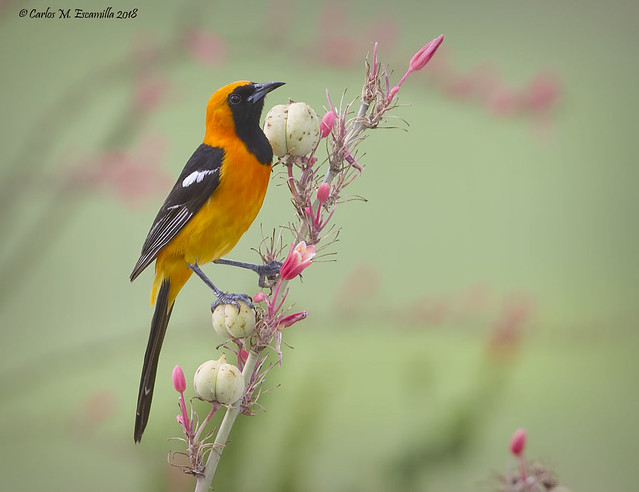 Hooded Oriole_MG_1749edtvg