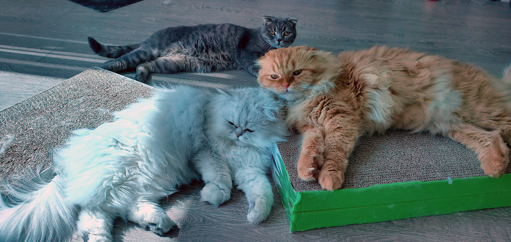 All three cats laying together