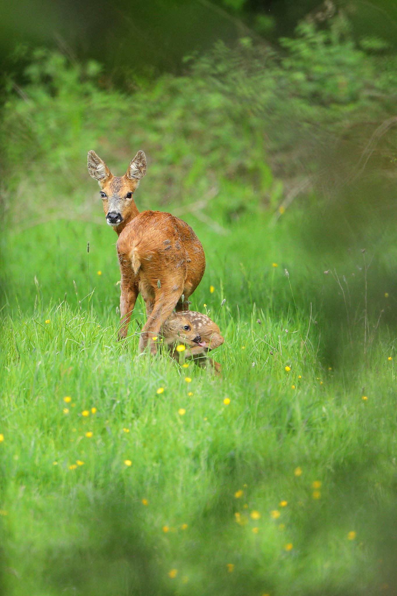 Roe deer mother and kid