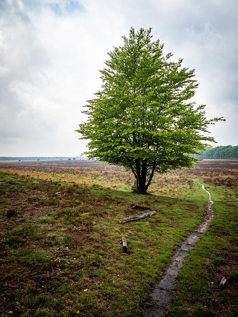 Veluwe 2021: Lone tree