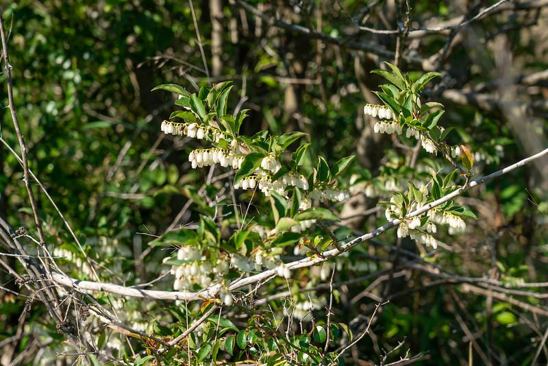葦毛湿原の馬酔木
