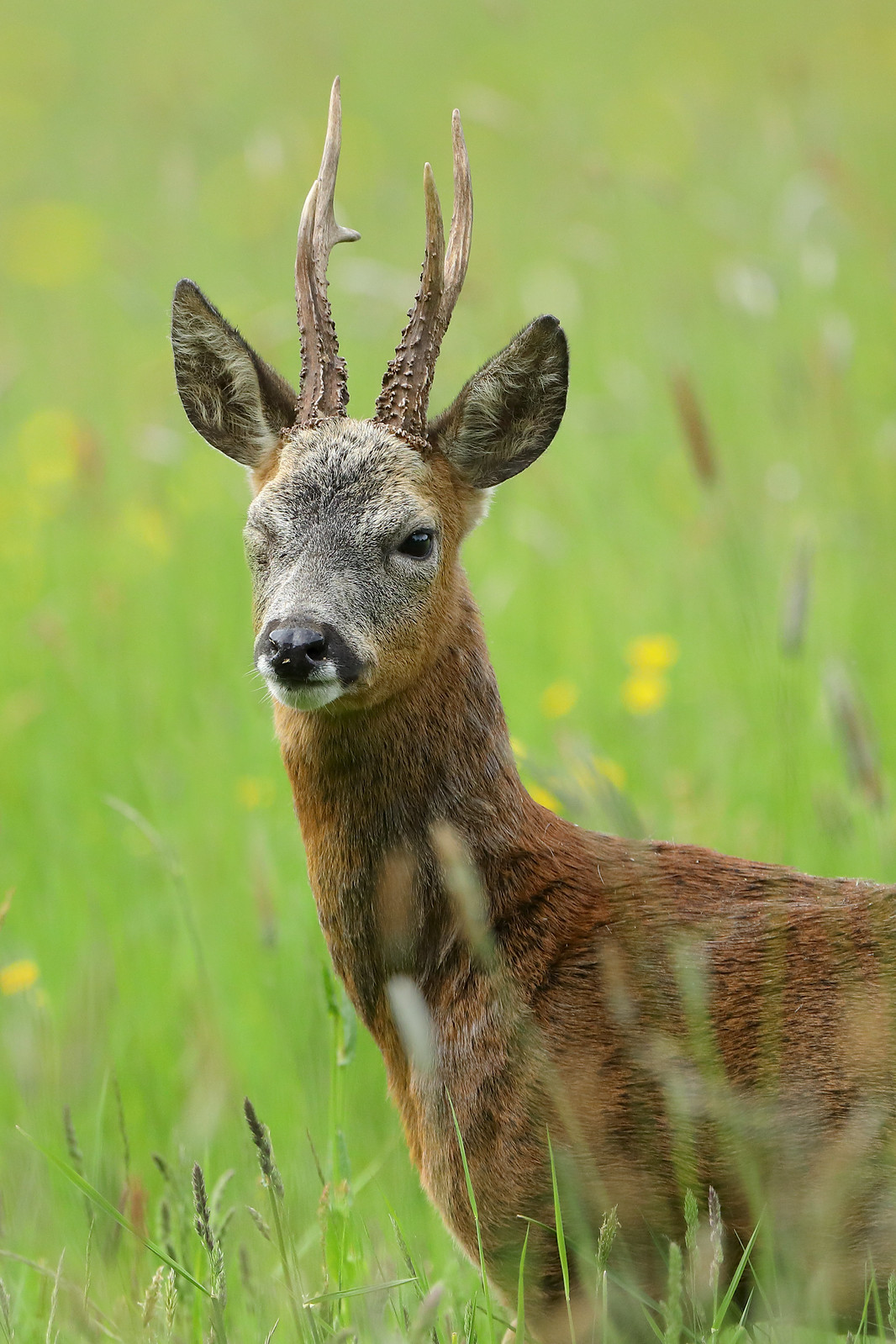 One-eyed Roe Buck