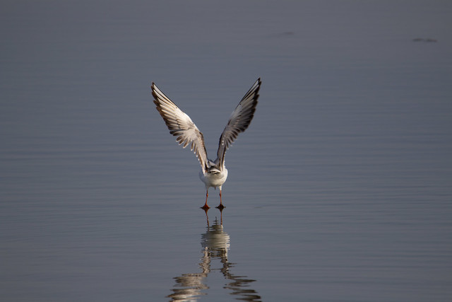 touchdown - Black-Headed Gull (Chroicocephalus ridibundus)