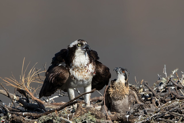 Osprey (3 weeks old chick with Mommy) 3I4527