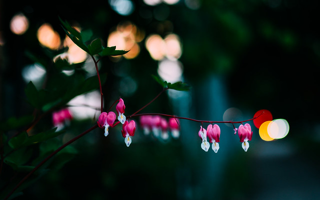 Bleeding Hearts in the Evening