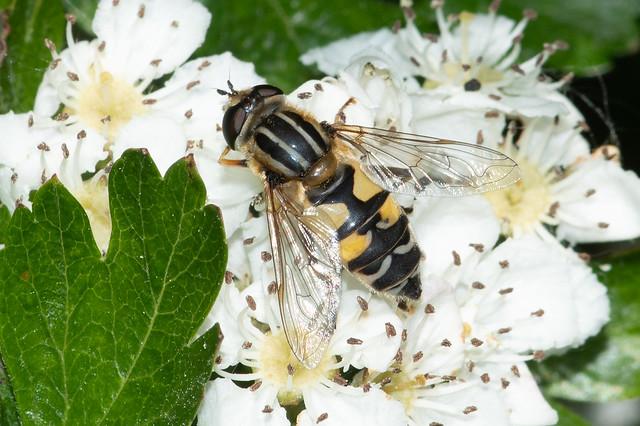 Hoverfly: Helophilus trivittatus [Syrphidae]