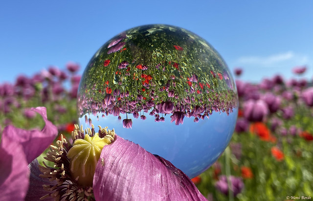 Poppies field in the Lensball