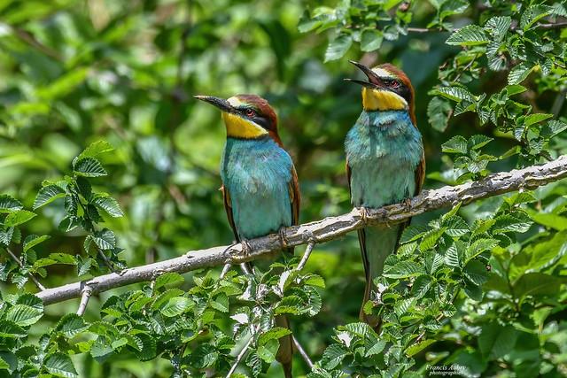 Guêpier d'Europe (Merops apiaster) Bee-eater