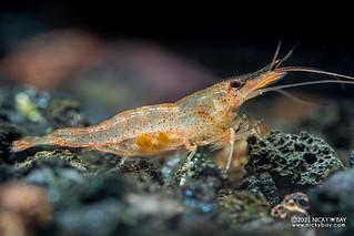 Pink Boxer Shrimp (Caridina longidigita) - P6049988