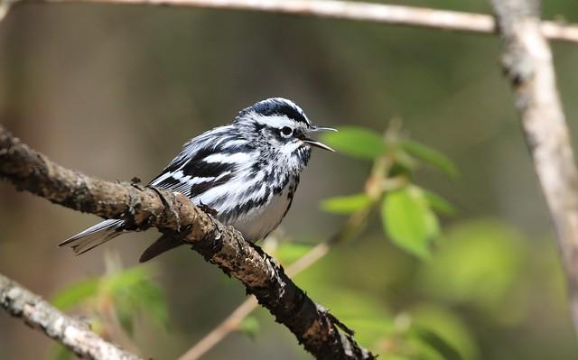 Black-and-white Warbler / Paruline noir et blanc( Diane )