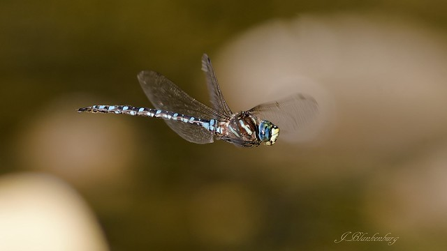 Dragonfly (Darner)