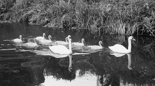 Swan Family 03