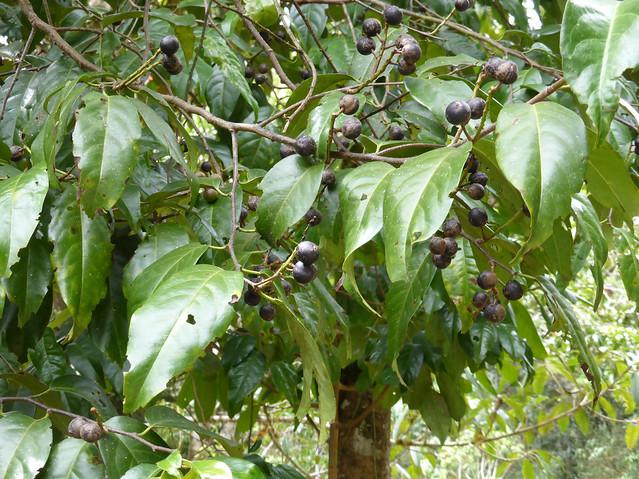 Prunus annularis Koehne 1915 (ROSACEAE).