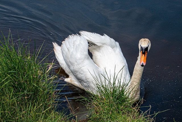 Swan at RSPB Pagham Harbour