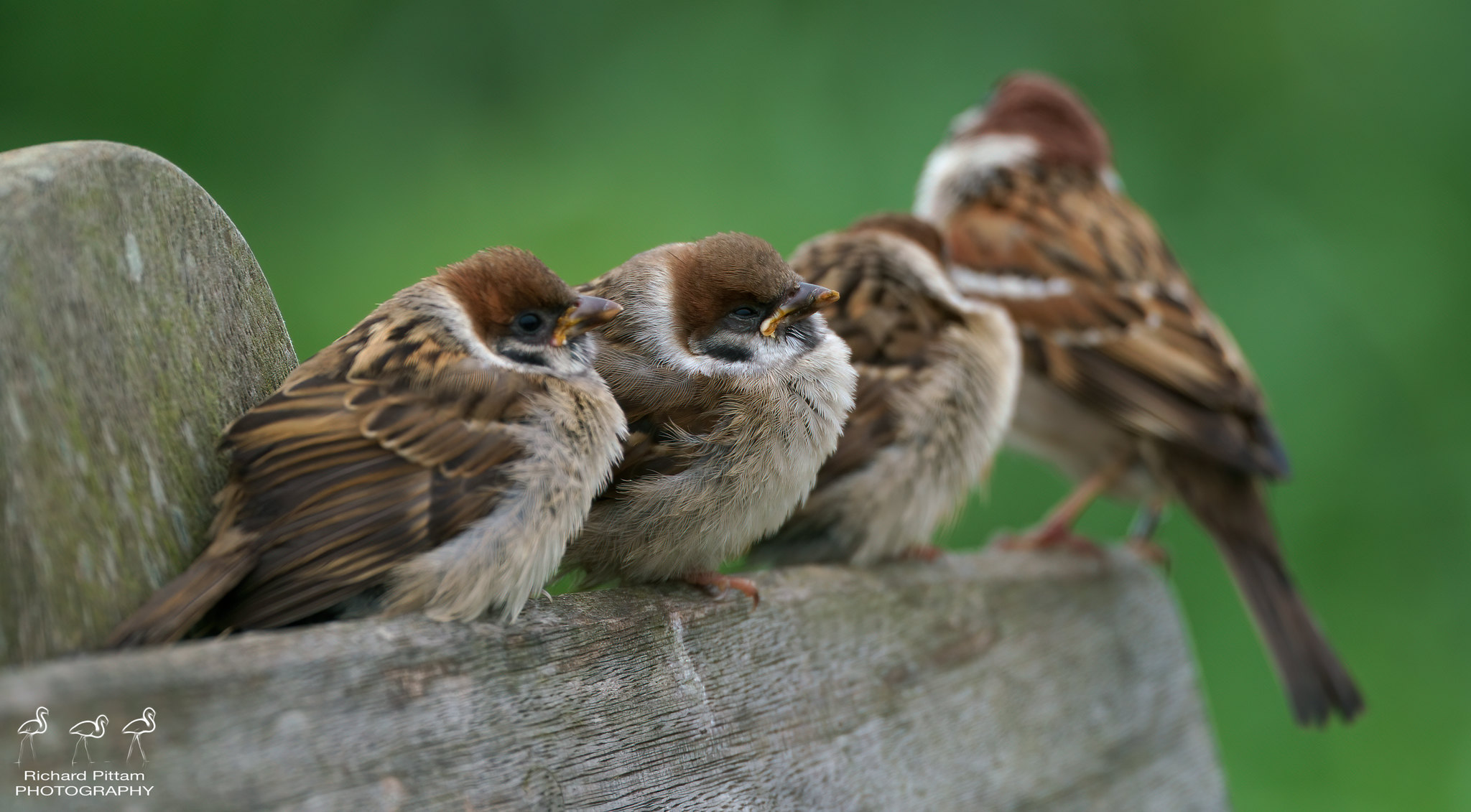 Tree Sparrow/s