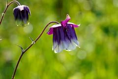 Akelei Blüten (keine gezüchtete Gartenakelei !)