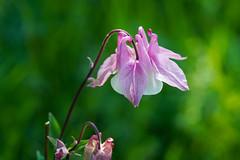 Akelei Blüte (keine gezüchtete Gartenakelei !)