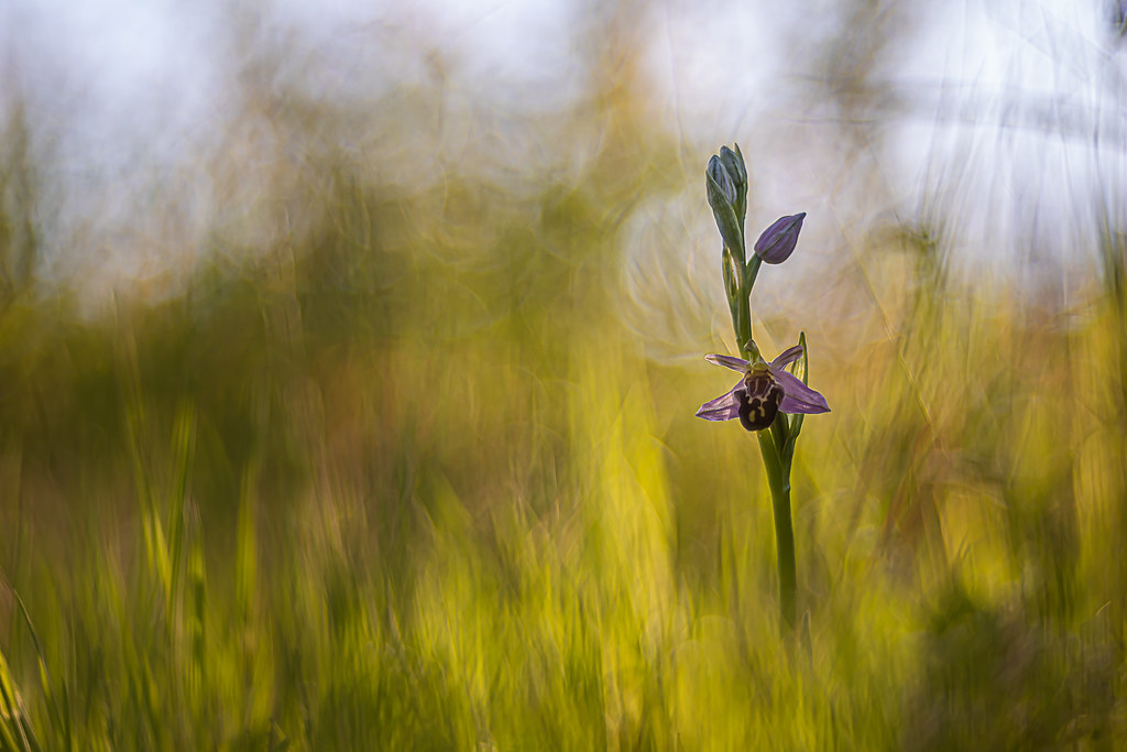 Ophrys Apifera Botteronii  - M 42 - Trioplan 100 à f 3.5 + bague de 20--2