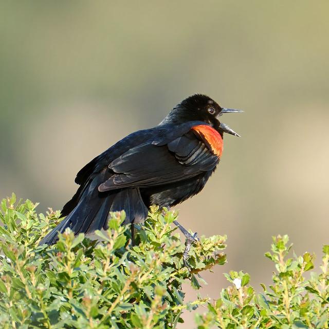 Singing: Red-winged Blackbird