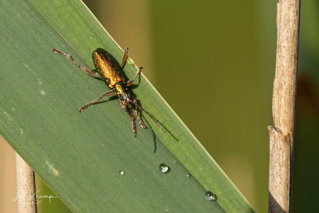 Leaf beetle | Rietkever