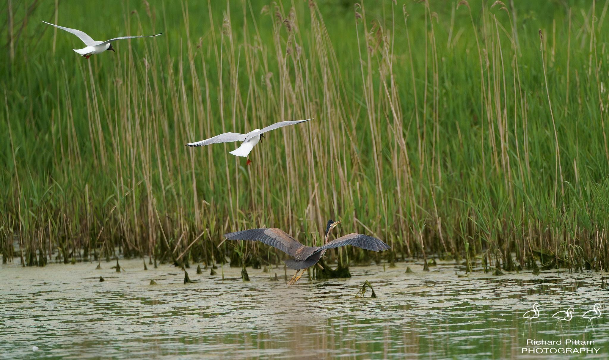 Purple Heron being chased by Black-headed Gulls