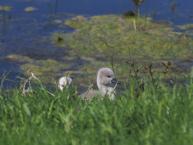 Young Swans (7)