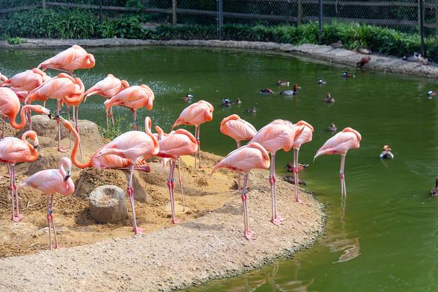 flamingos @ Sylvan Heights Bird Park