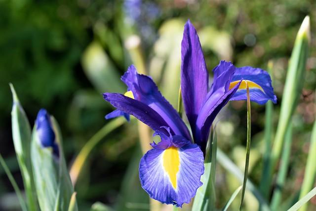 Purple iris in June 2021.