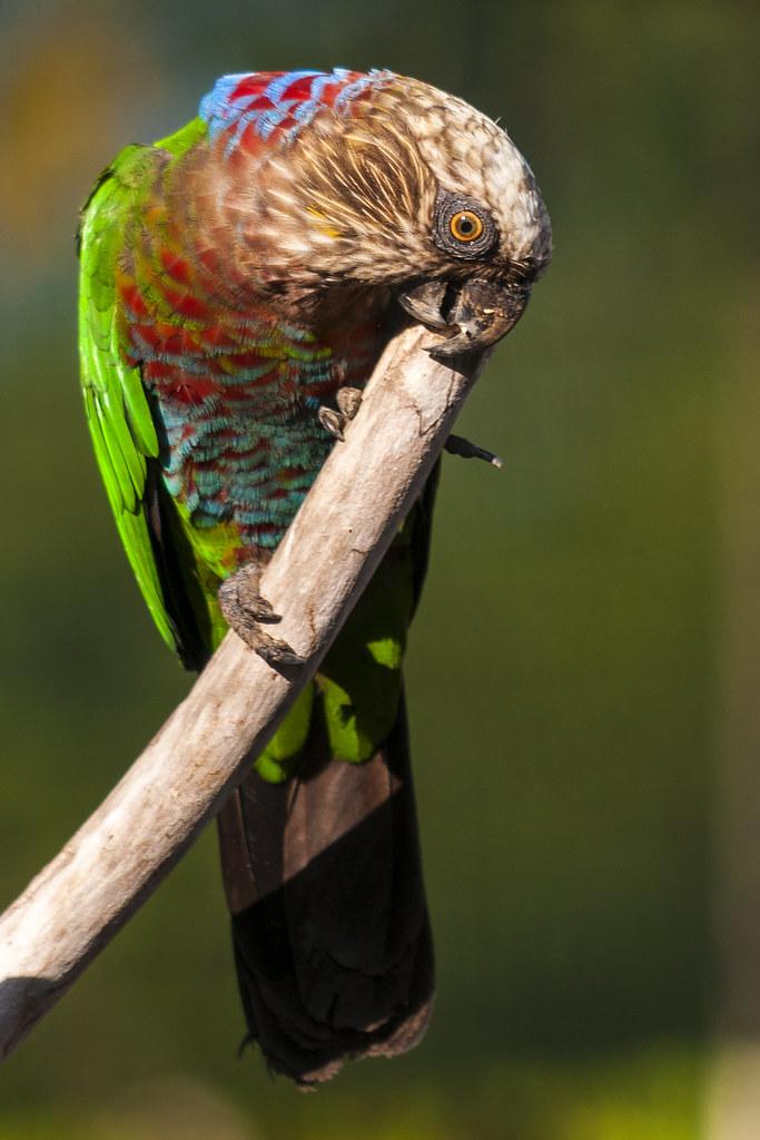 Perroquet maillé, Guyane
