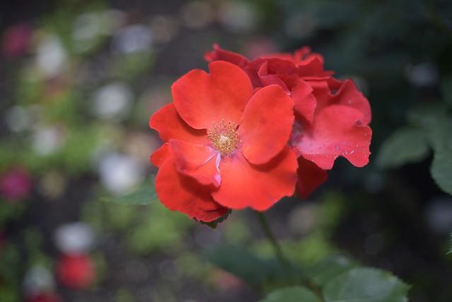 Rose Garden #4