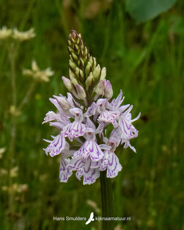 Gevlekte orchis (Dactylorhiza maculata)-850_3425-bewerkt