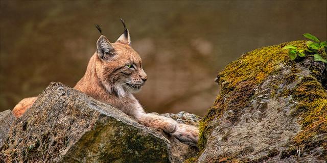 Eurasischer Luchs (Nordluchs) - Eurasian lynx