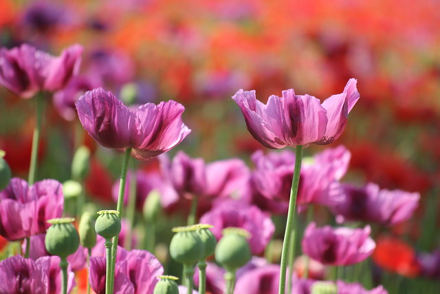 Poppy flowers / Mákvirágok