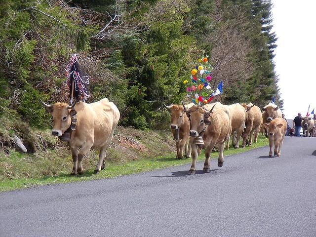 Transhumance: vache Aubrac (23 mai 2021, Aveyron, France)
