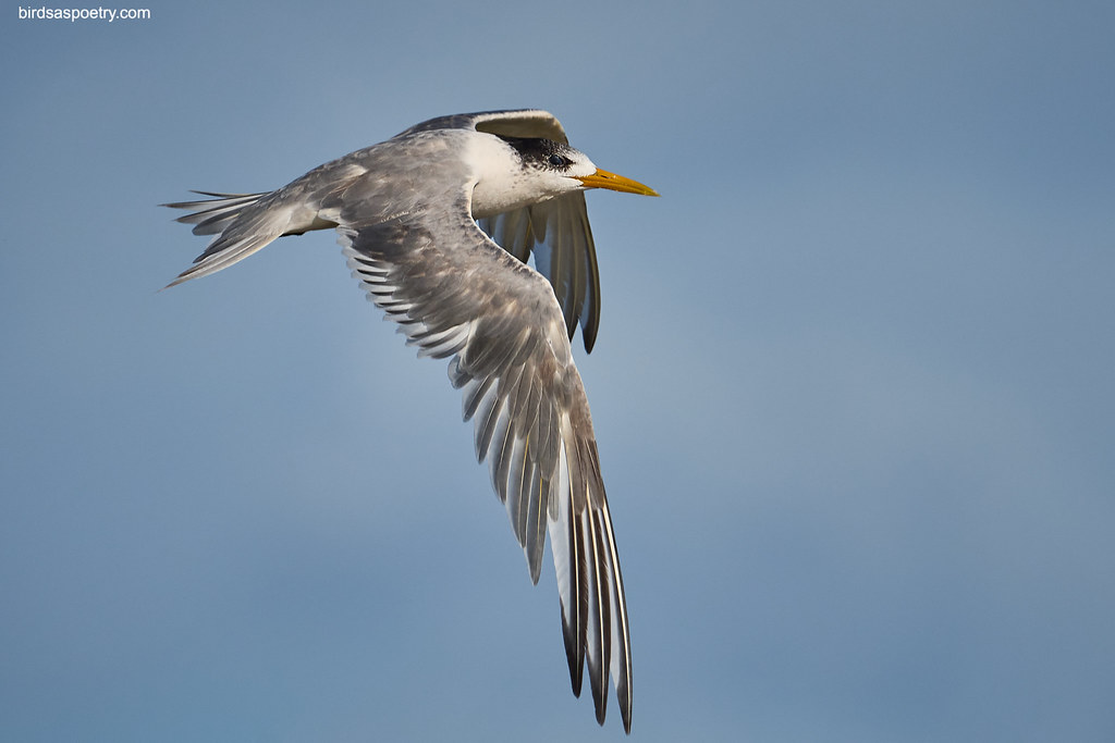 Great Crested Tern : Full Wing Display