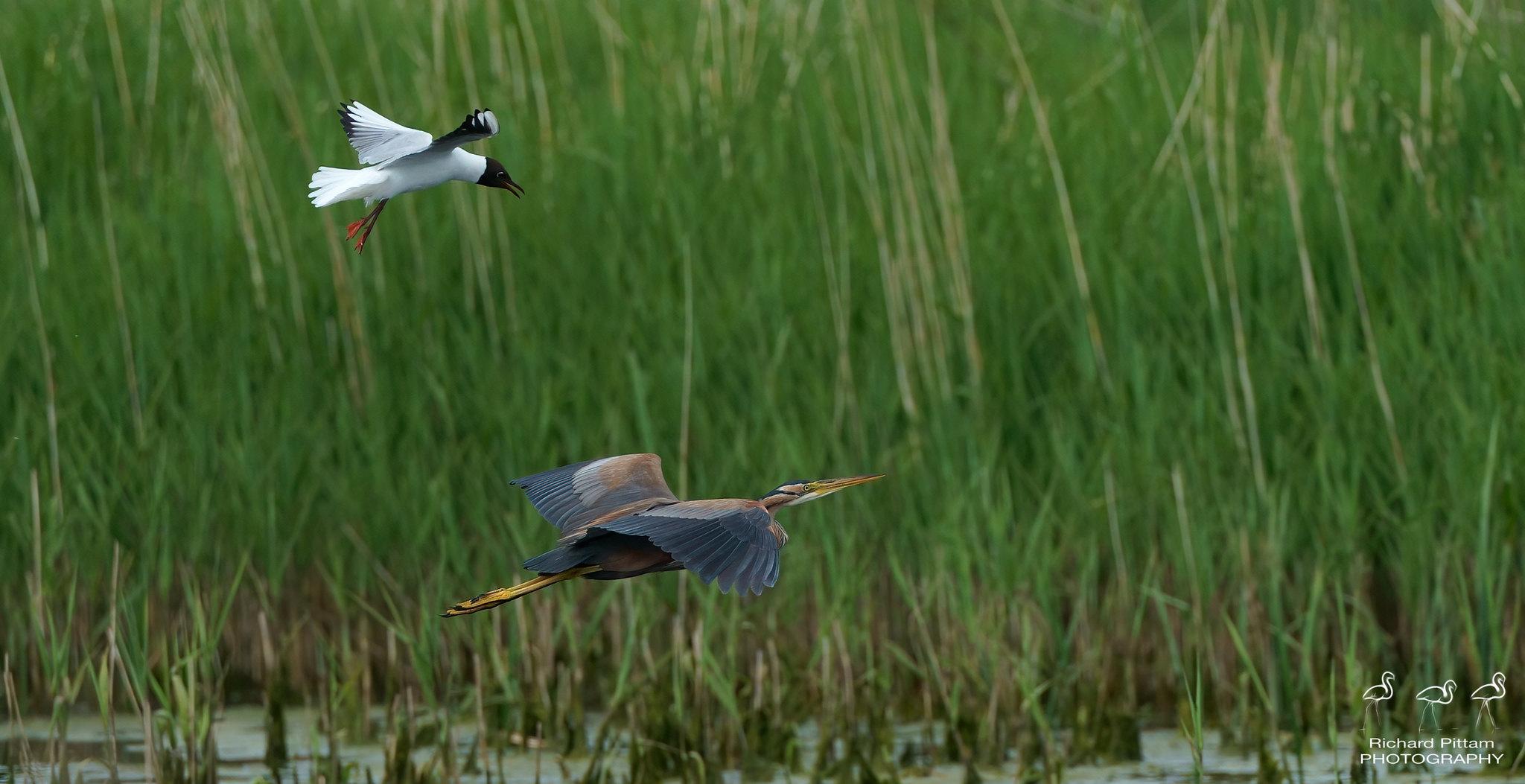 Purple Heron being chased by Black-headed Gull
