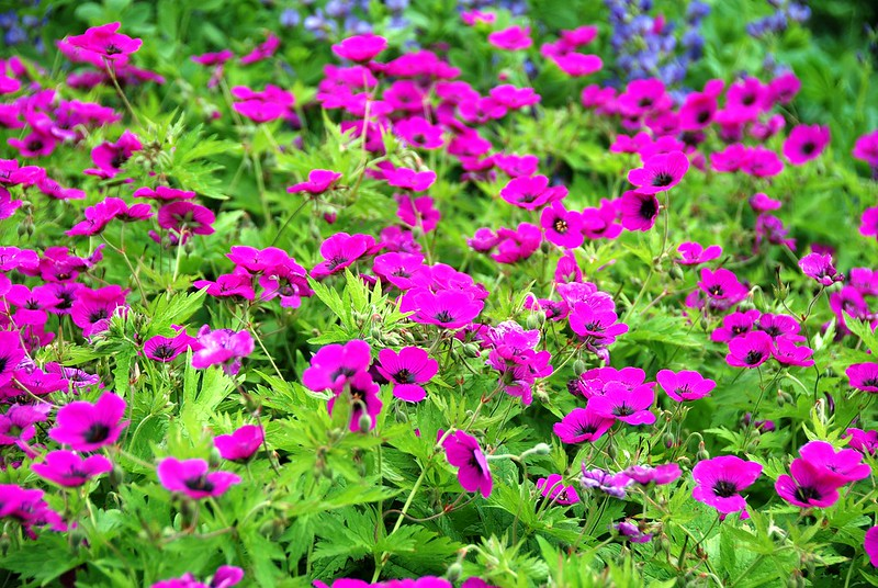 When It Comes to Geraniums They Can Border on Beauty!