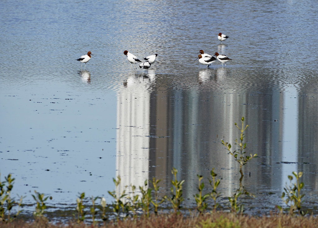 Red-necked avocets on building reflection
