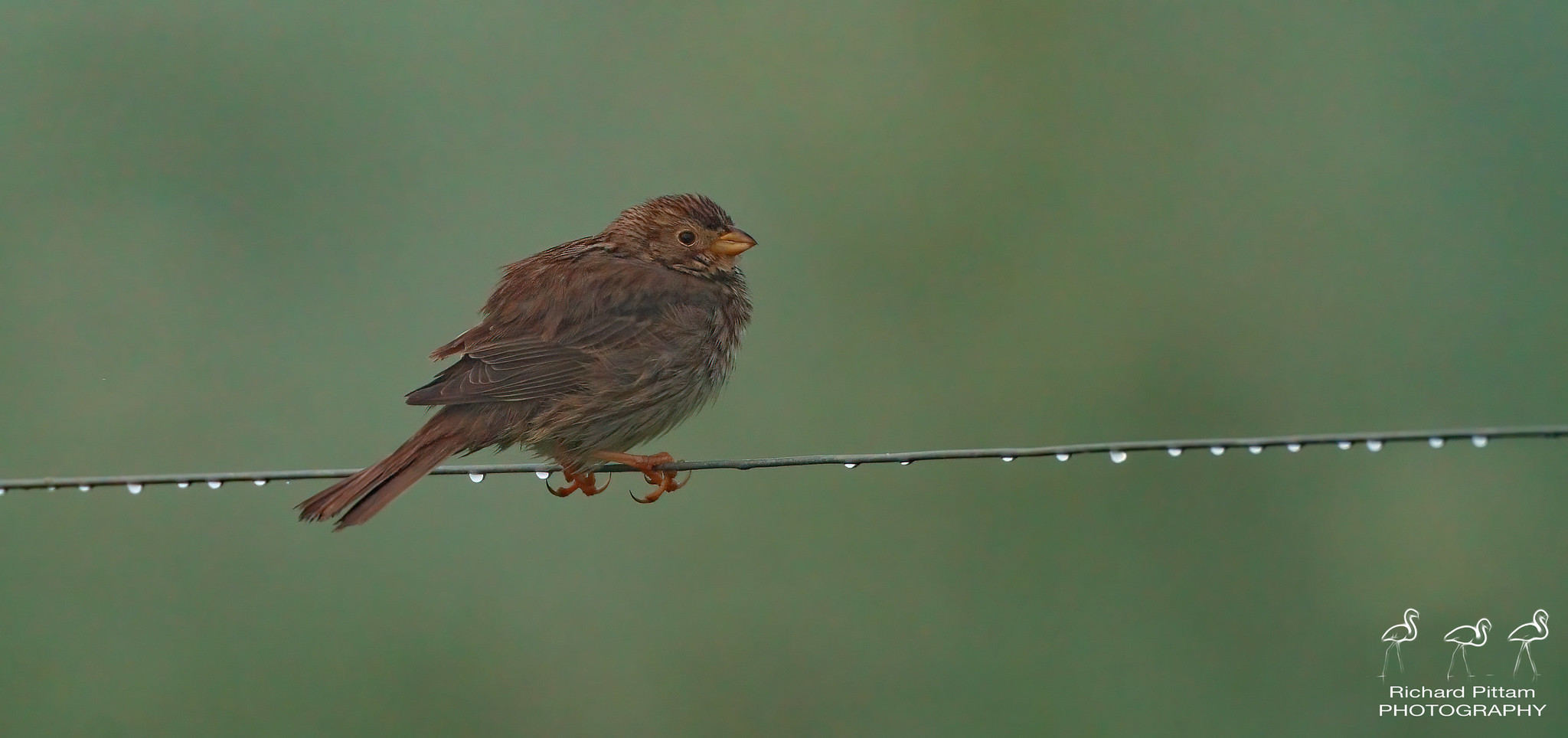 Corn bunting in thick mist