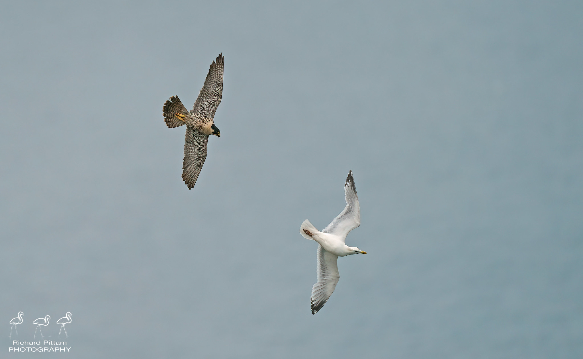 Peregrine and Herring Gull in aerial tussle on cliffs
