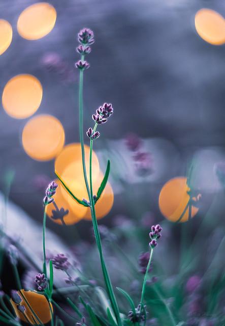 Lavender Impressions IV